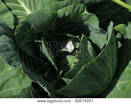 Butterfly in cabbage. Butterfly on a leaf of cabbage