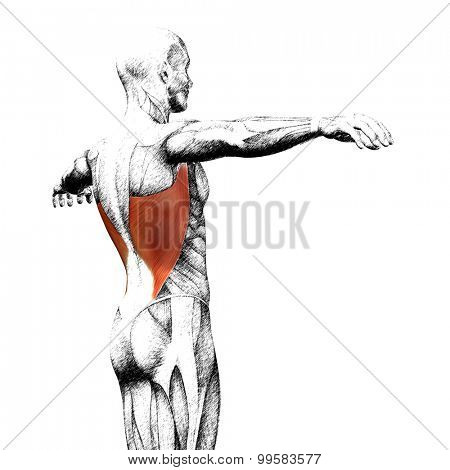 Concept or conceptual 3D back human anatomy or anatomical and muscle sketch isolated on white background