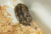 Cute hamster in sawdust and wooden house poster