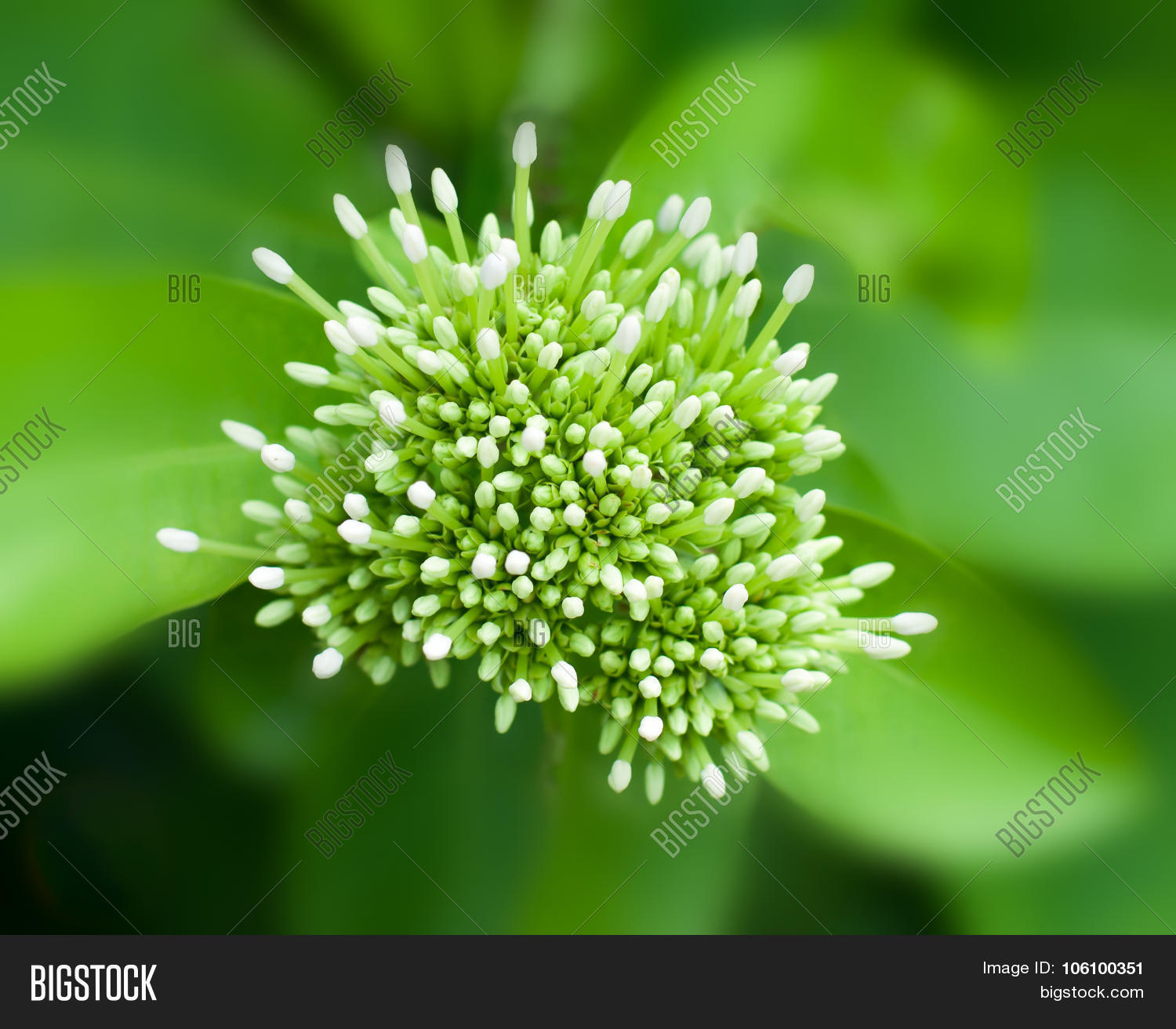 Beautiful bouquet image photo free trial bigstock beautiful bouquet of white ixoras flower west indian jasmine flower selective center focus izmirmasajfo