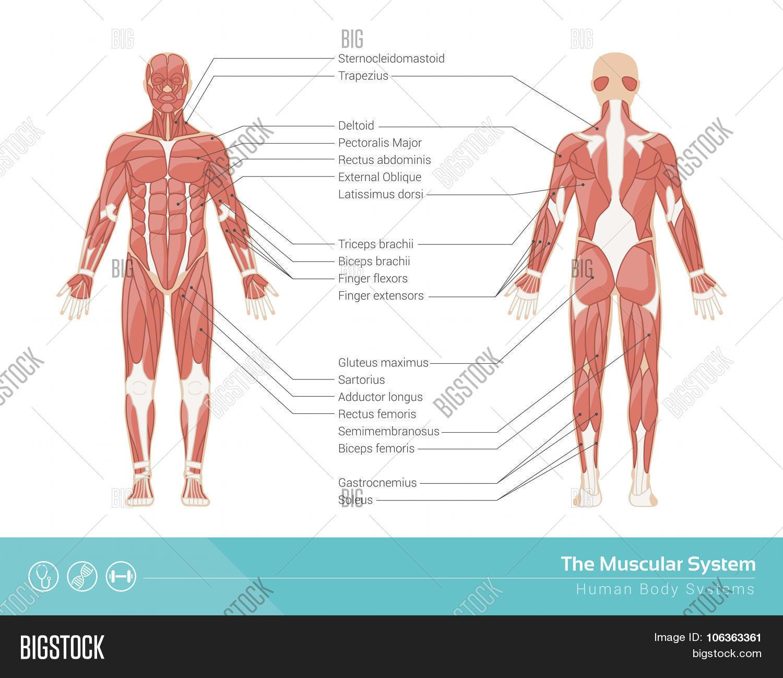 Vector y foto Muscular System (prueba gratis) | Bigstock