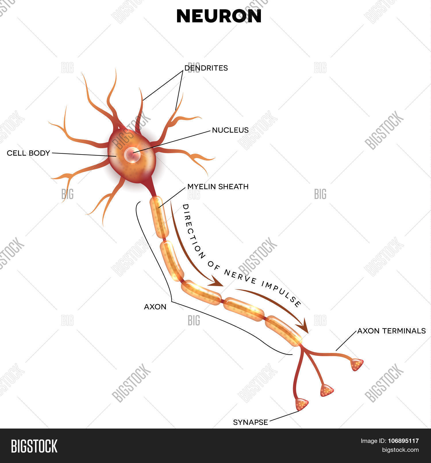Labeled Diagram Neuron Vector & Photo | Bigstock