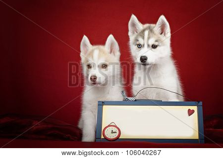 Cute siberian husky puppies above banner