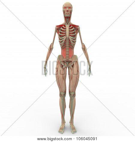 Human Muscle Body Anotomy