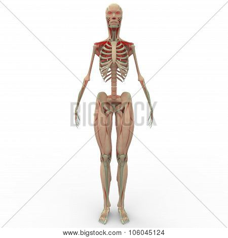 Human Muscle Body Anatomy