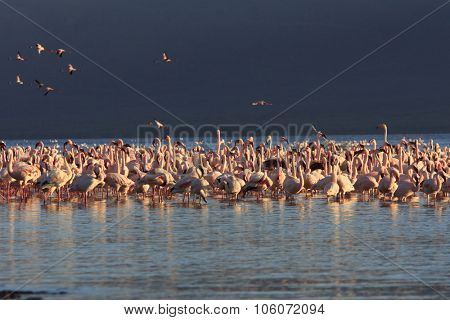 Flock of Flamingoes (Lesser and Greater Flamingo, Great Rift Valley, East Africa)