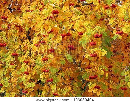Red Sorbus Bunches Among Autumn Leaves