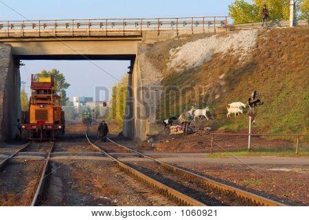 Shepherd And Sheeps On Railway