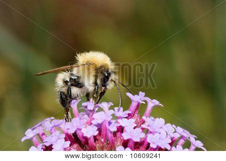 Bee feeding on a purlpe flower