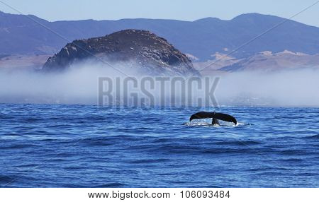Humpback Whale in Morro Bay with Morro Rock and Fog