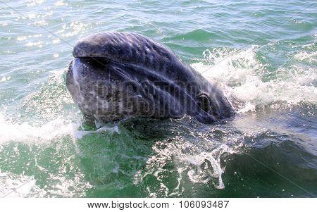 Baby Gray Whale Face in San Ignacio Lagoon