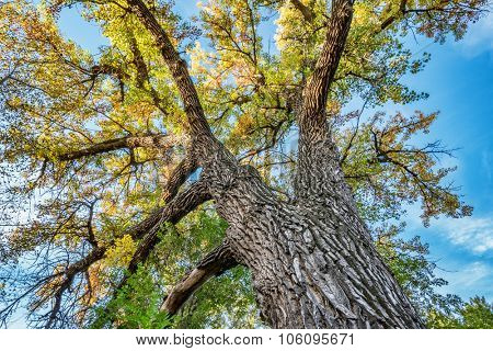 Giant cottonwood tree with fall foliage native to Colorado Plains, also the State tree of Wyoming, Nebraska, and Kansas - looking up