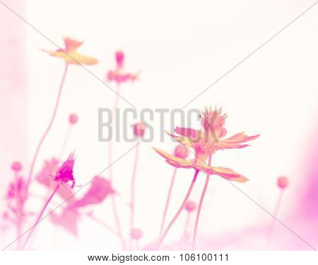 Cosmos flower bloom plant shine sweet colorful sunshine beautiful in garden country background with colorful filter poster