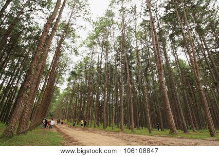 Many Tourists In The Natural Pine Forest.