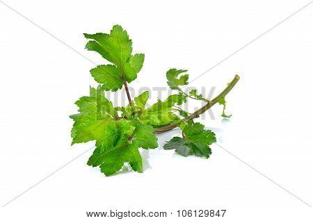 Celery Or Sagebrush With Stem On White Background