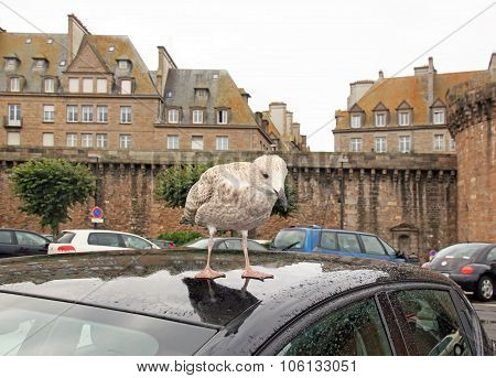 grisard, young gull landed on the roof of a car (St-Malo Brittany France)