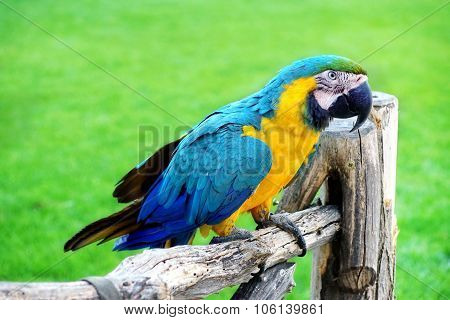 Blue And Yellow Macaw Or  Ara Ararauna  Parrot