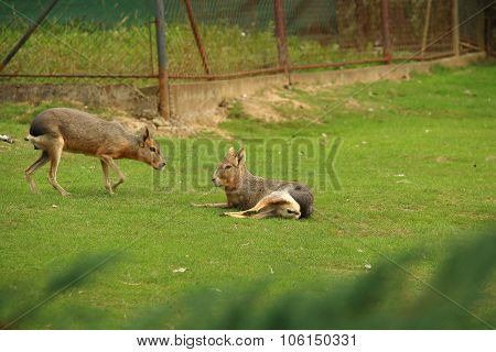 Patagonian Maras (patagonian Cavy, Patagonian Hare Or Dillaby) On Pasture