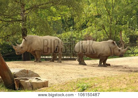 Pair Of White Rhinoceros (square-lipped Rhinoceros) Standing On Dusty Ground