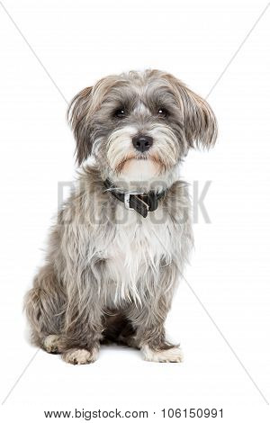 Grey And White Mixed Breed Dog