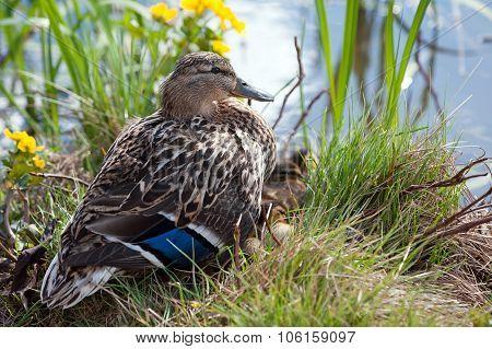 Wild Duck (anas Platyrhynchos), Female