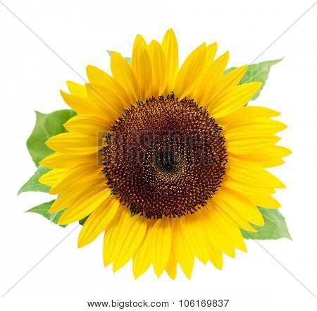 Sunflower, isolated on a white background.