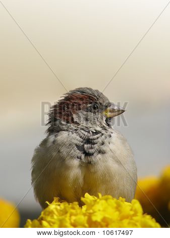 Sparrow on yellow flower