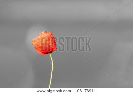 Abstract Vivid Poppy Flower Over Black And White Background