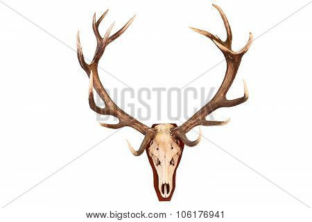 Awesome Red Deer Hunting Trophy