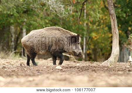 Big Wild Boar Walking In A Glade