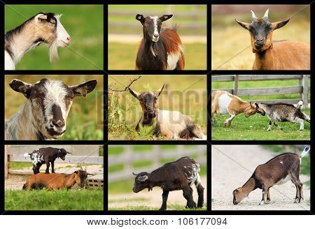 Collection Of Images With Goats