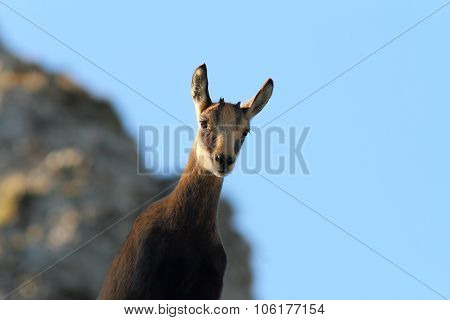cute wild curious chamois youngster looking at camera ( Rupicapra carpatica ) poster