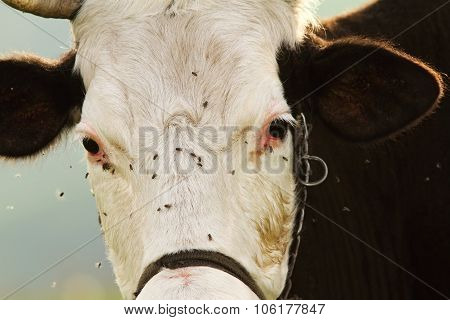 Portrait Of Holstein Cow