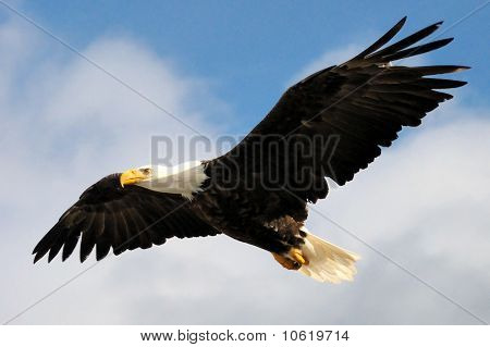 Vuelo de águila calva