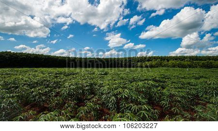 Cassava Plants With Storm Clouds In Background.