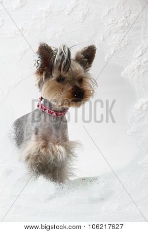 Small Yorkie In The Winter Window