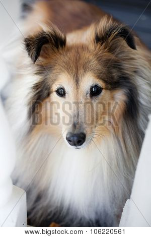 Shetland sheep dog looking at the camera