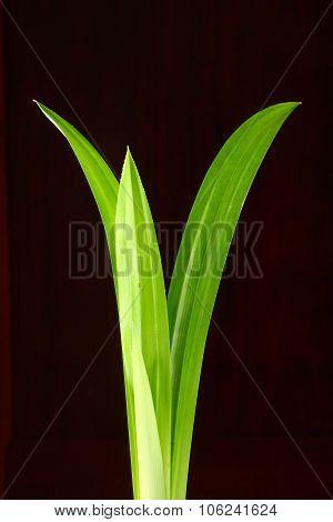 Pandanus leaf.