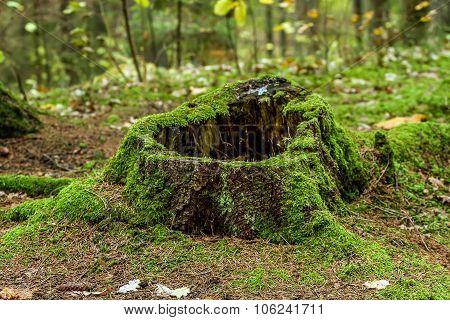 Old Stump In Shaman