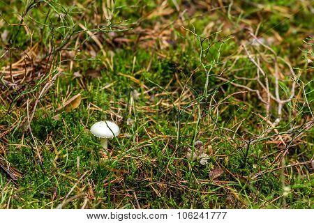One Mushrooms In Shaman