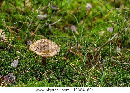 Mushrooms In Shaman