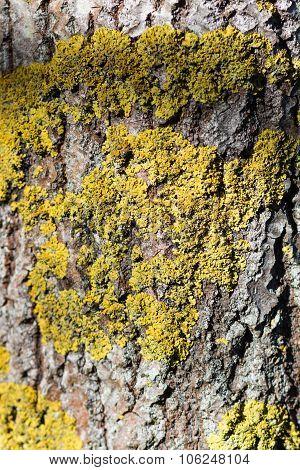 Texture Of  Manchurian Walnut Bark With Lichens