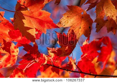 Red and amber maple leaves