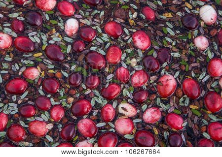 Floating cranberries close-up