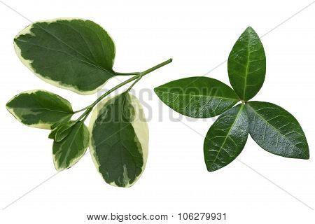 Vinca Leaf
