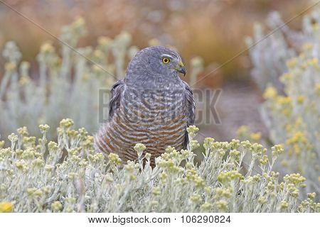 Cinereous Harrier Resting