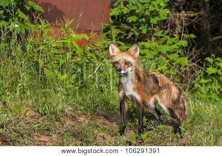 Red Fox Vixen (vulpes Vulpes) Stands Near Old Truck