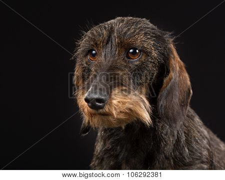 Wirehaired Dachshund
