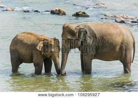 Elephants In Pinnawela Sri Lanka