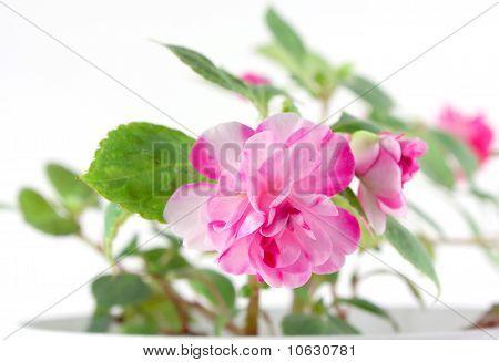 Blossom Flower (balsaminaceae). Shallow Dof.